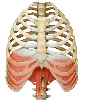 diaphragm_yoga_anatomy